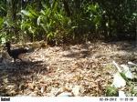 Paujil hembra, Crax daubentoni