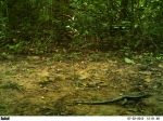 Tupinambis teguixin, Mato de agua